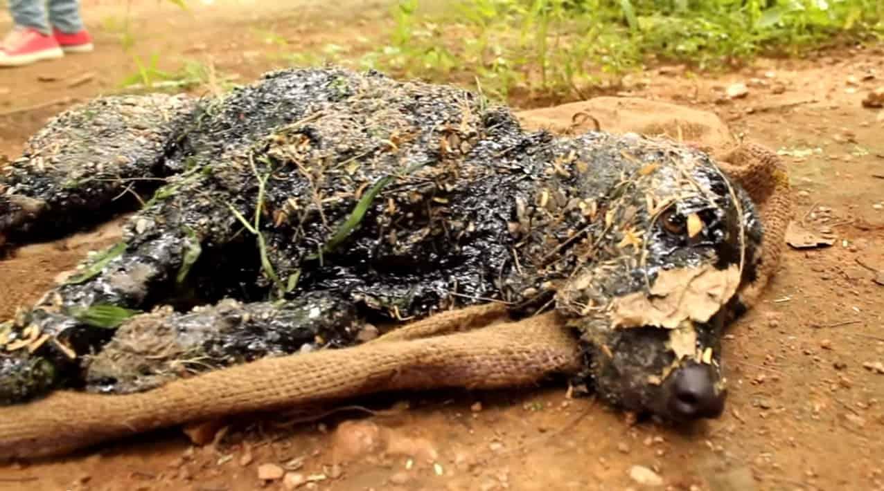 En Inde, un chien est tombé dans du goudron