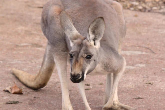 Un kangourou. Image d'illustration.