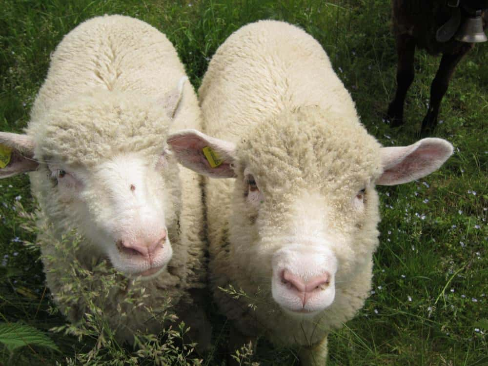 Des moutons. Photo d'illustration.