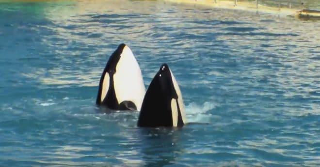 Orques au Marineland d'Antibes