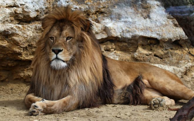 Photo d'illustration. Un lion.
