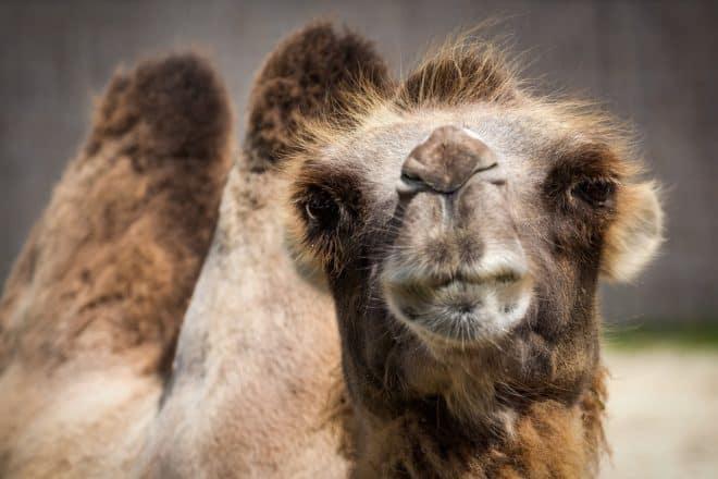 Un chameau. Photo d'illustration.