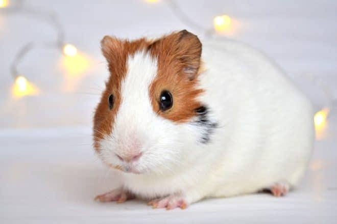 Photo d'illustration. Un cochon d'Inde