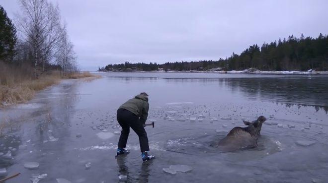 Élan pris dans les glaces en Suède