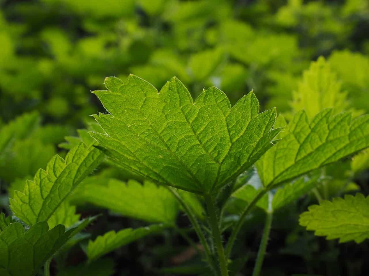 Plus de plantes ont des propri t s m dicinales d 39 apr s un rapport britannique - Liste des plantes medicinales ...