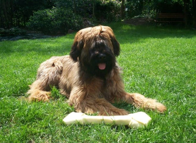 Chien Briard. Image d'illustration.