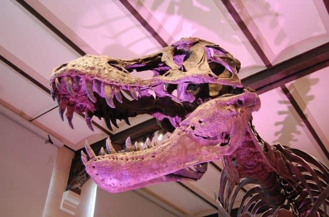 Le crâne d'un T-Rex