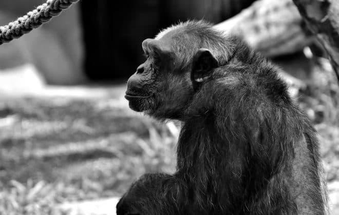 Un chimpanzé. Image d'illustration.