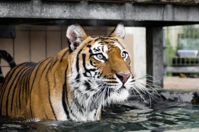 Illustration. Un tigre de Sibérie.