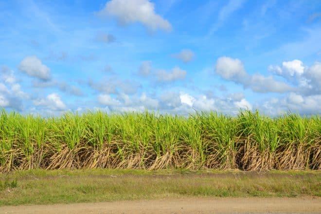 Photo d'illustration. Un champ de canne à sucre.