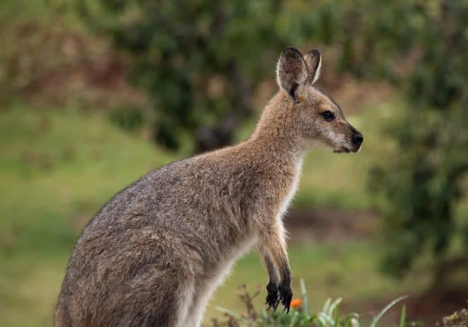 Un wallaby. Image d'illustration.