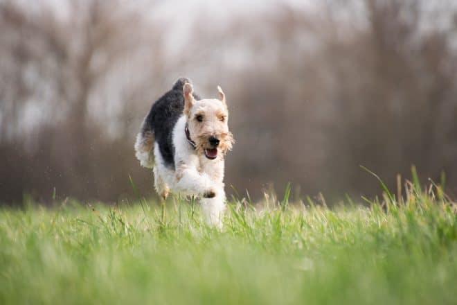 Chien de race Terrier. Image d'illustration.
