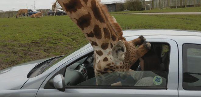 Une girafe passe sa tête a travers la fenêtre d'une voiture au Royaume-Uni