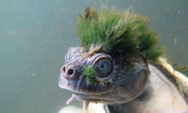 La tortue de la Mary River, Australie.