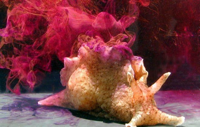 Aplysia californica, ou lièvre de mer.