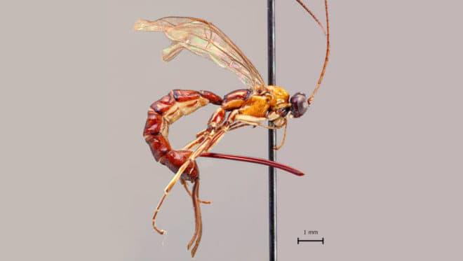Clistopyga crassicaudata, nouvelle espèce de guêpe découverte en Amazonie.