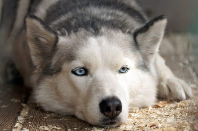 Un husky. Image d'illustration.