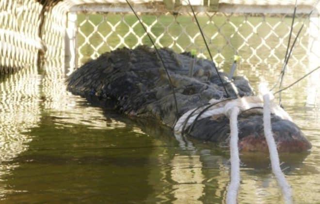 Le crocodile de 4,7 mètres de long et 600 kilos capturé en Australie en juillet 2918