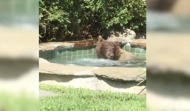 L'ours qui s'est invité dans un jacuzzi en Californie, juin 2018