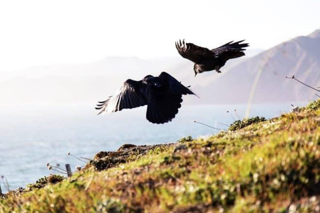 Des corbeaux freux. Image d'illustration.