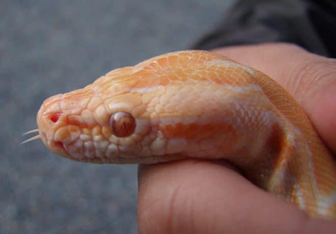 Un serpent des blés. Image d'illustration.