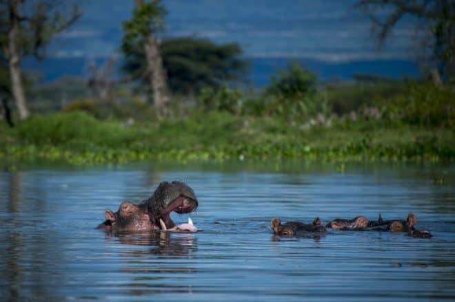 Illustration. Des hippopotames.