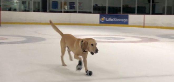 Benny, chien patineur sur glace