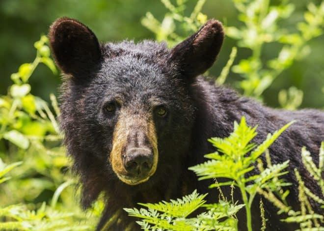 Un ours noir. Image d'illustration.
