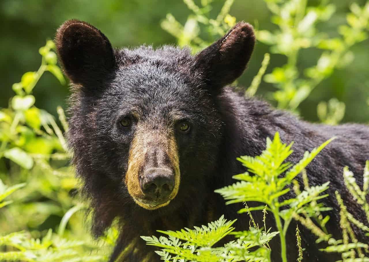 Chine : pour soigner les malades du Covid-19, un traitement à base de bile d'ours