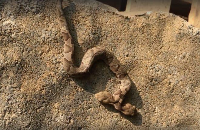 Serpent à deux têtes découvert en Virginie en septembre 2018