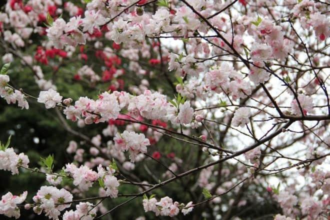 Un cerisier au jardin impérial de Shinjuku Gyoen, Japon. Image d'illustration.