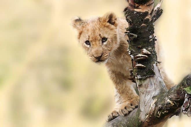 Un lionceau. Image d'illustration.
