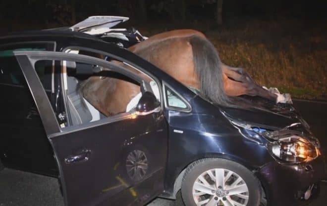 Une jument encastrée dans le pare-brise d'une voiture en Allemagne le 18 octobre 2018