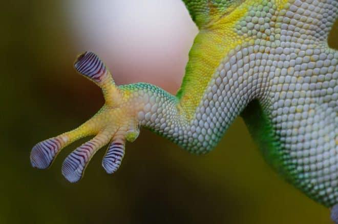 Une patte de gecko. Image d'illustration.