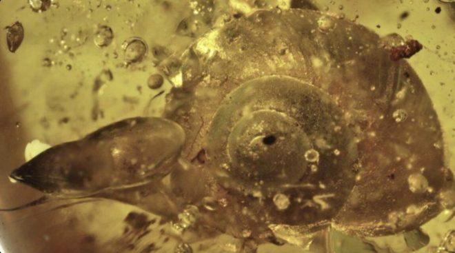 L'escargot vieux de 100 millions d'année, piégé dans l'ambre.