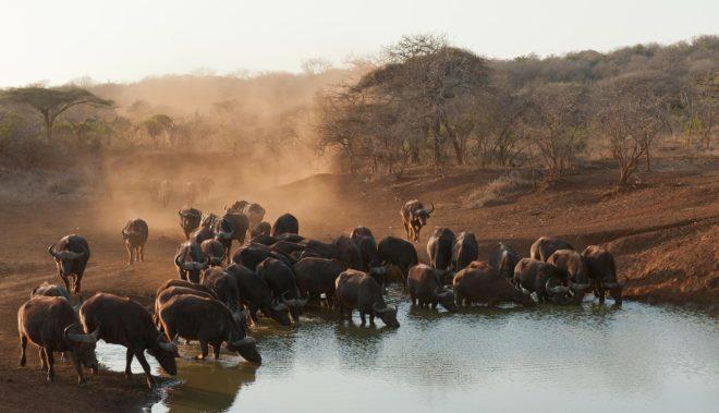 Des buffles en Afrique du Sud. Image d'illustration.