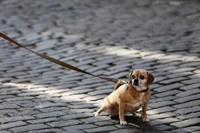 Un chien en laisse. Image d'illustration.