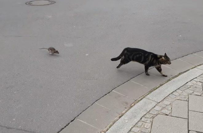 Un rat qui n'a pas peur du chat.
