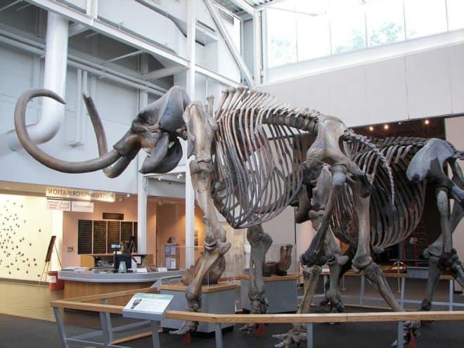 Le squelette d'un mammouth laineux. Image d'illustration.