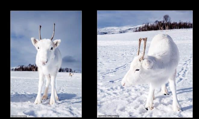 Le renne blanc capturé en images par Mads Nordsveen