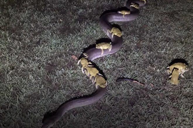 Des crapauds en covoiturage python.