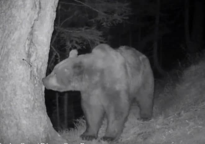 L'ours Pyros en août 2016 (photo automatique prise de nuit)