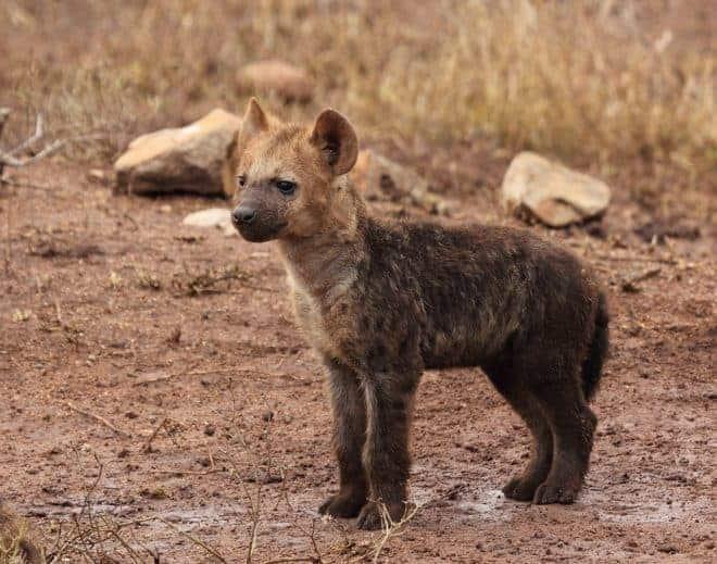 Une hyène. Image d'illustration.