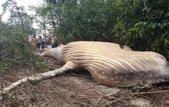 La carcasse de baleine retrouvée en février 2019 dans la forêt amazonienne.
