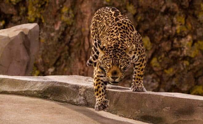 Illustration. Un jaguar.