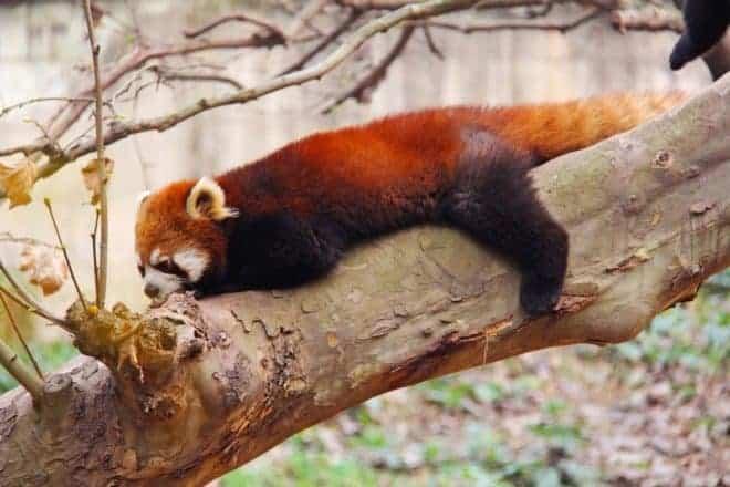 Un panda roux.