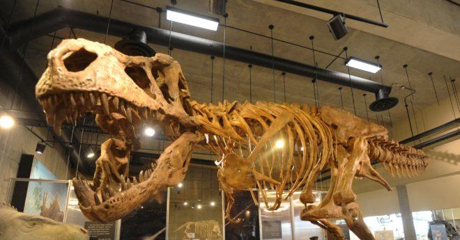 Le T.Rex baptisé Scotty, au musée du du Saskatchewan, Canada.