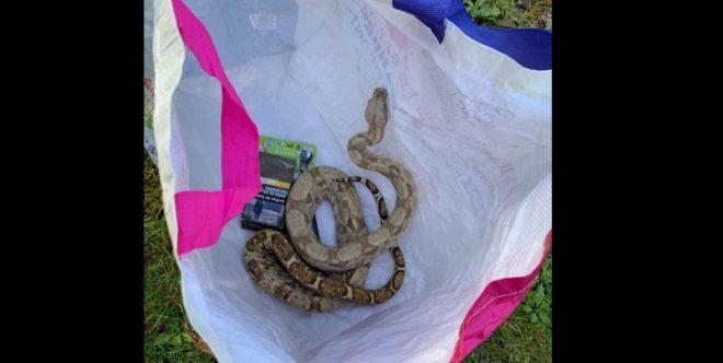 Un boa constrictor rencontré par les gendarmes en Loire-Atlantique.