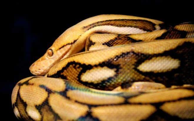 Illustration. Un python réticulé.