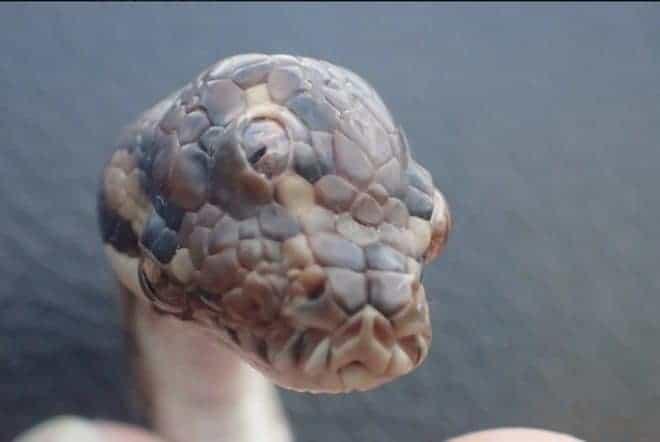 Serpent à trois têtes découvert en Australie.